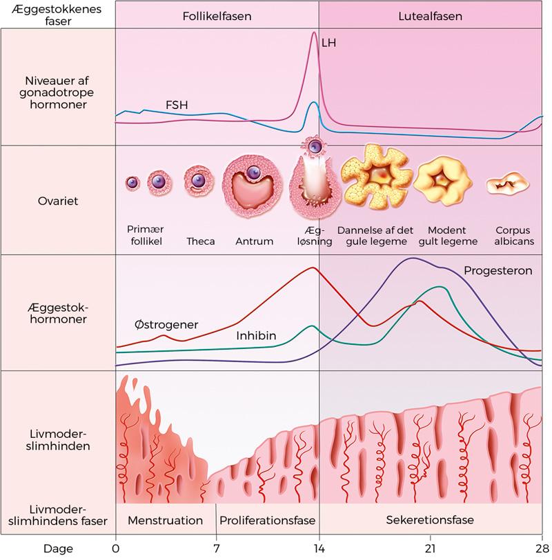 hvorfor opstår fibromer